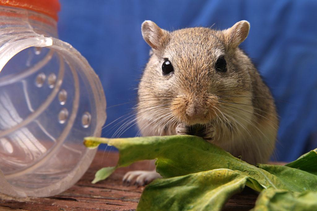 cute brown gerbil eating cabbage leaf